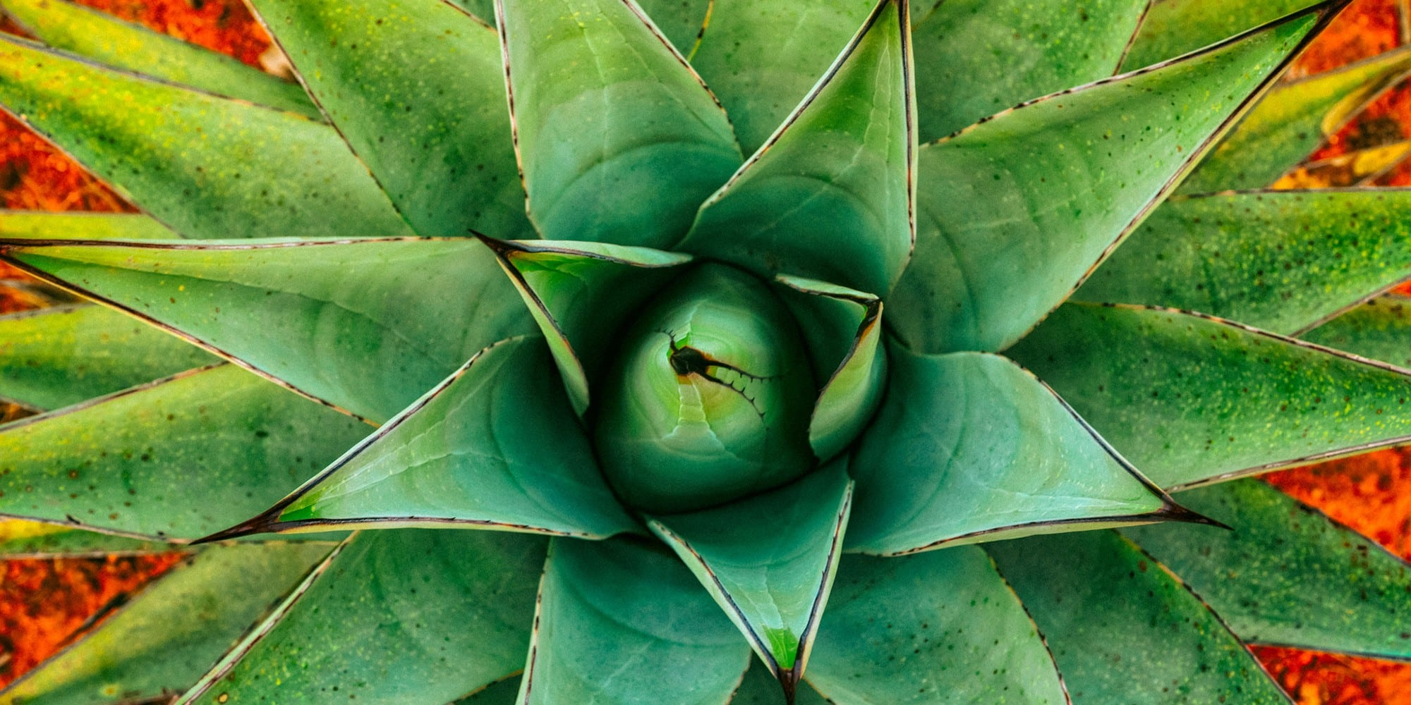 Agave plant. Photo by CEB Imagery.